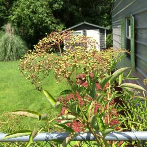elderberry_green_berries_fence