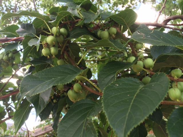 Immature Hardy Kiwi fruit on the vine