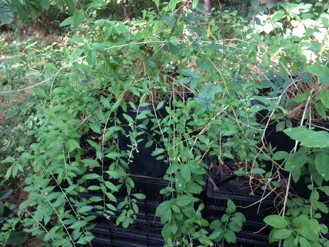 Goji Berry Plants #1