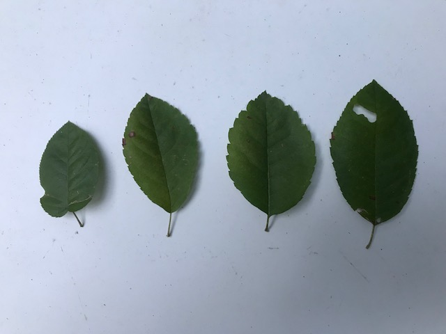 Several examples of Amelanchier arborea leaves