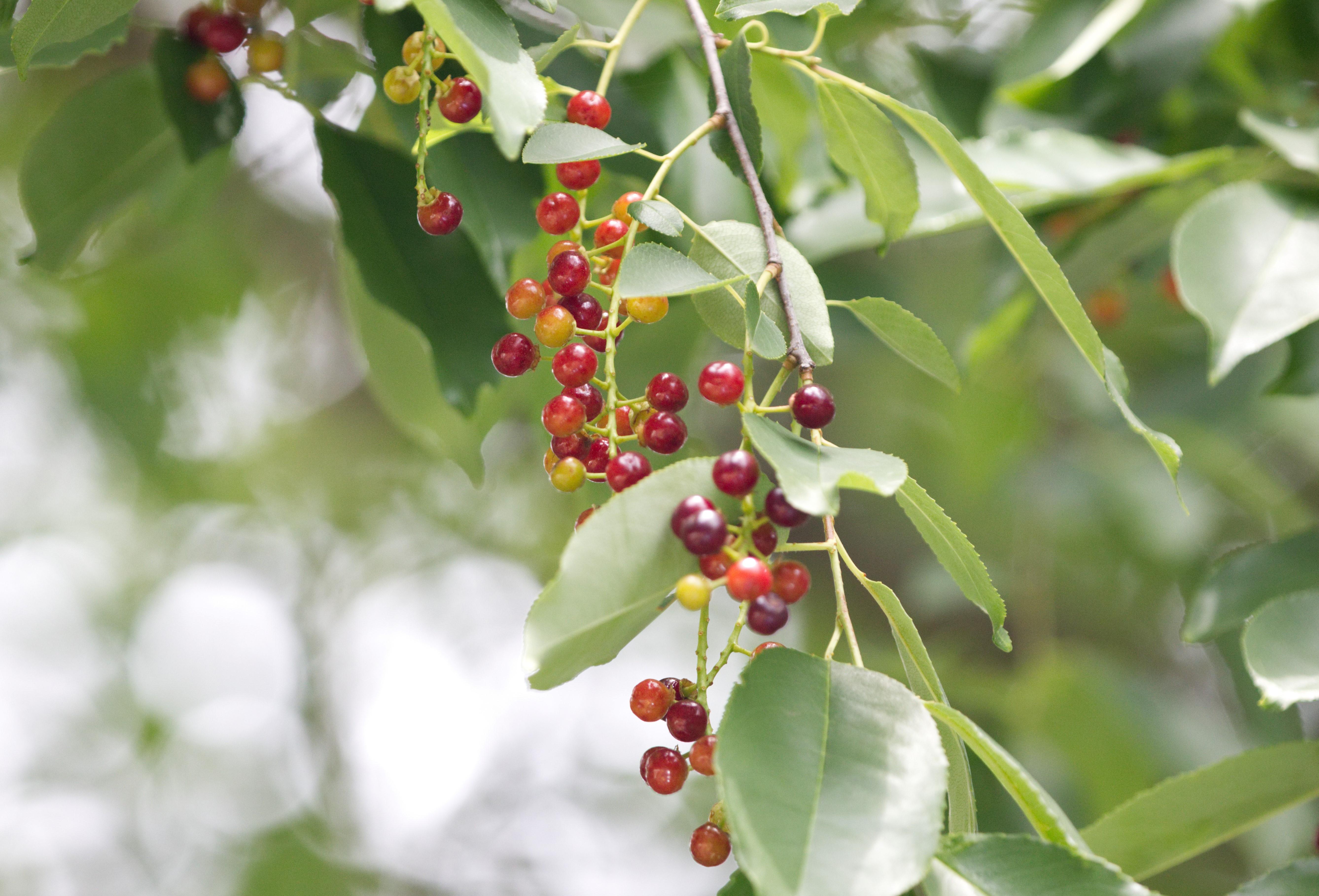 Wild Cherry pic 7610