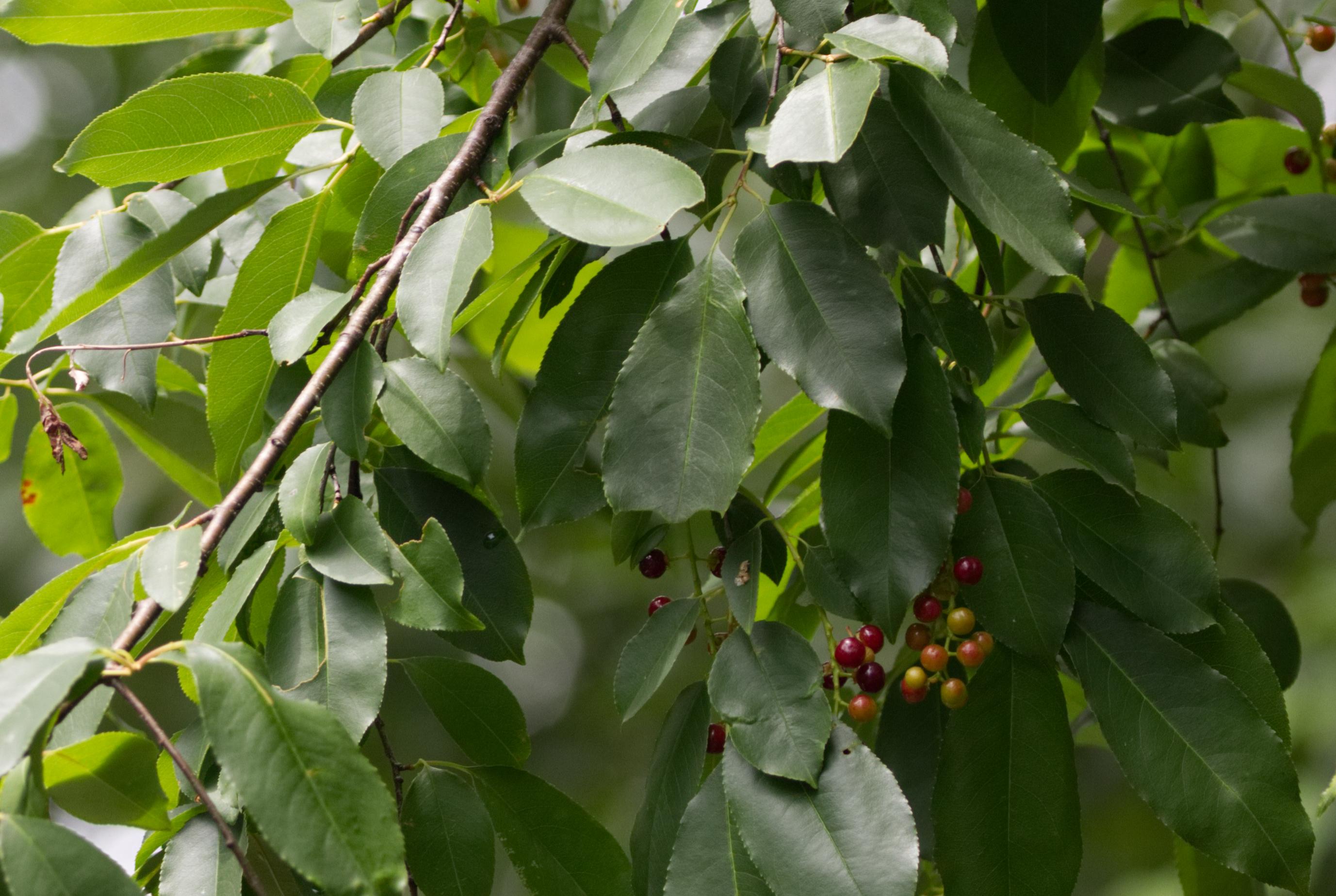 Wild Cherry pic 7617