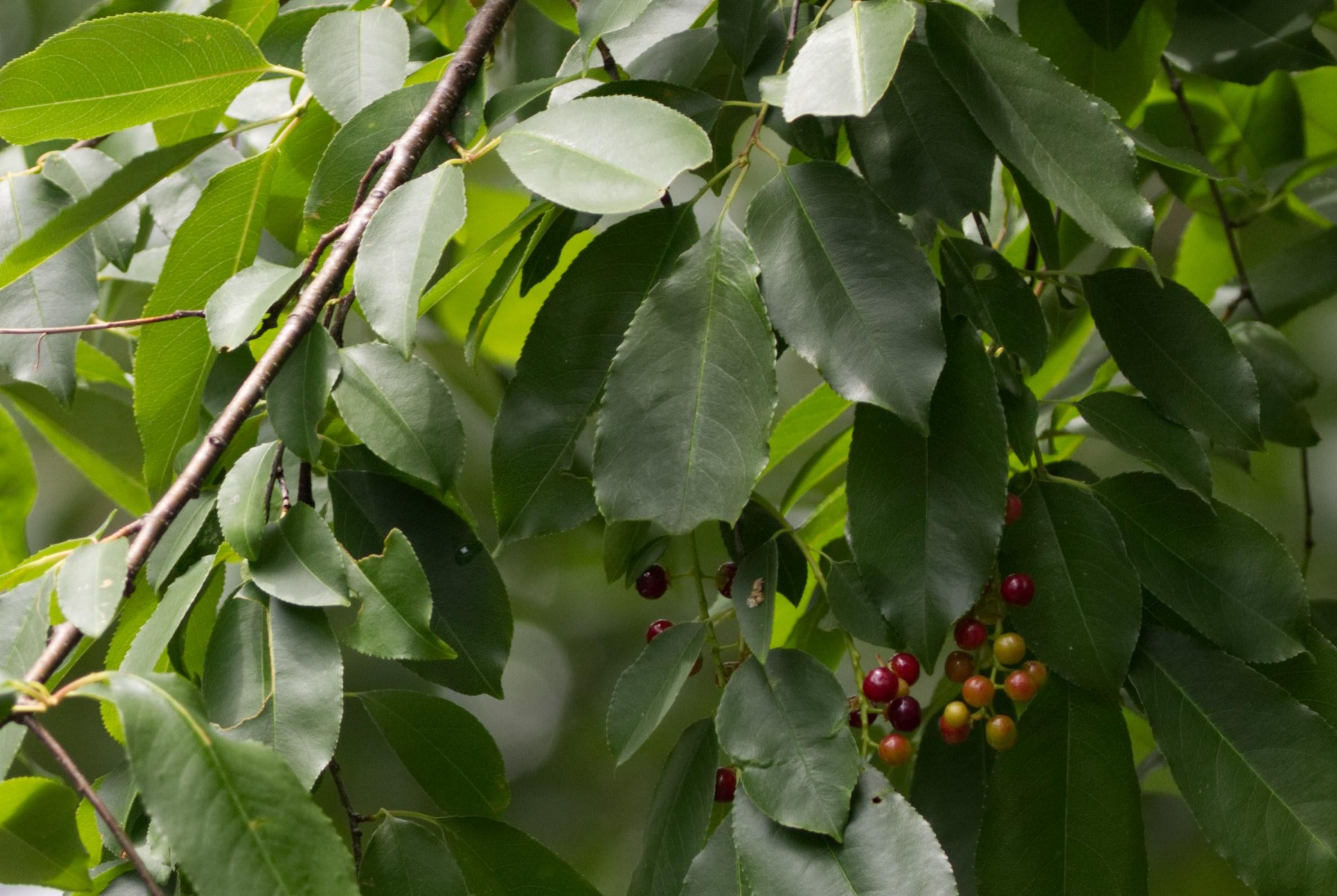 Wild Black Cherry Tree Duck Boot Garden