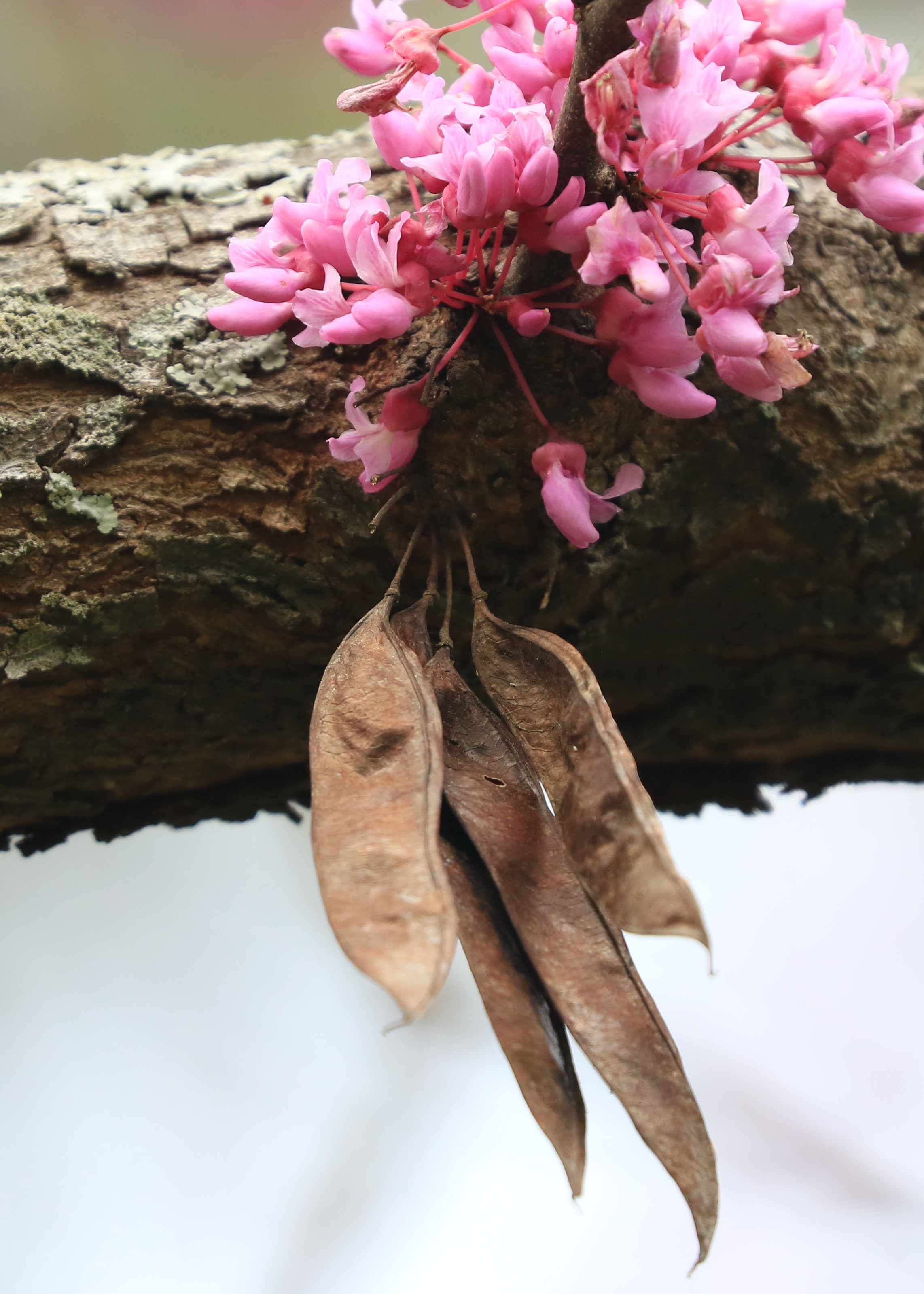 Eastern Redbud - blooms seed pods (002)