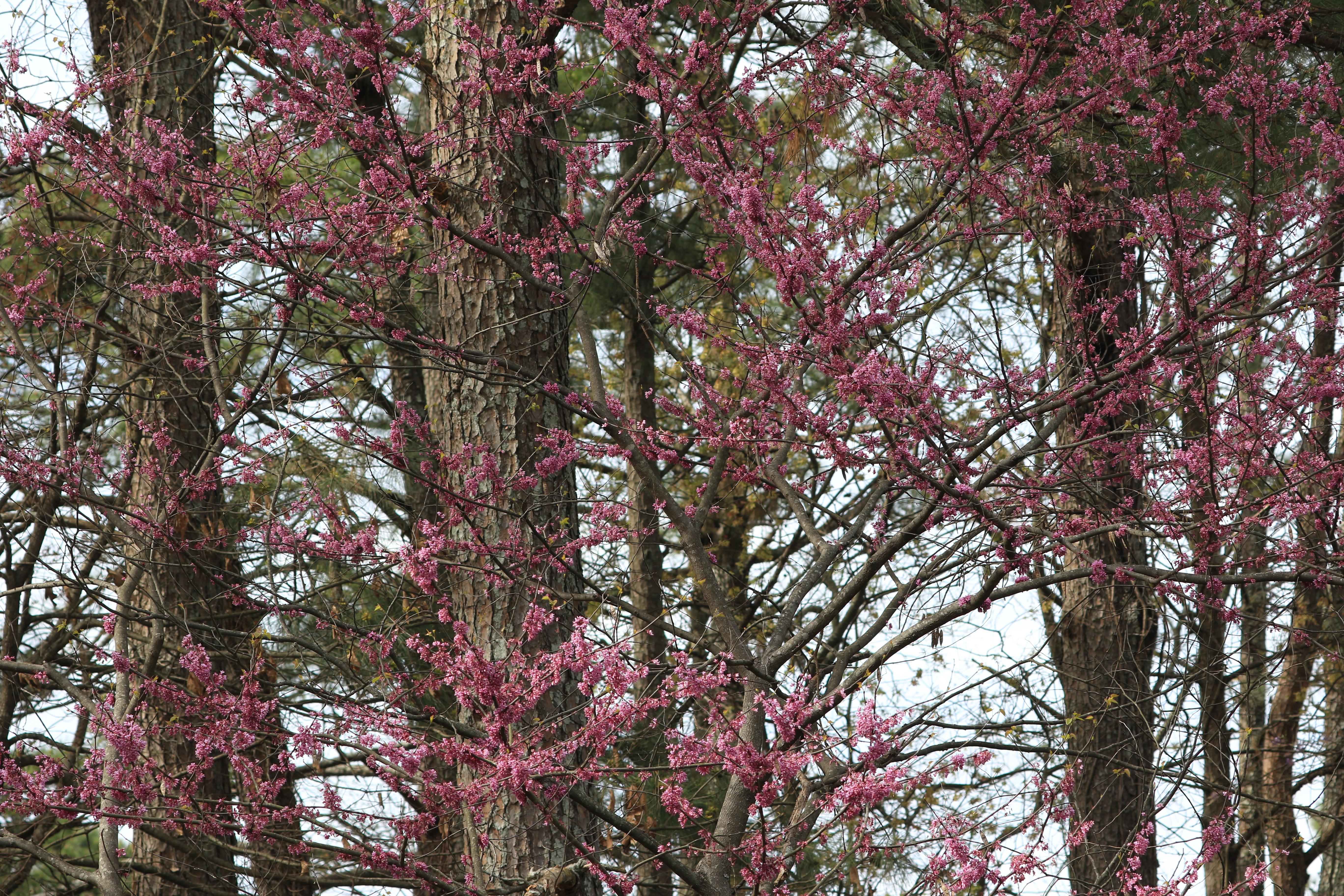 Eastern Redbud - in bloom (002)