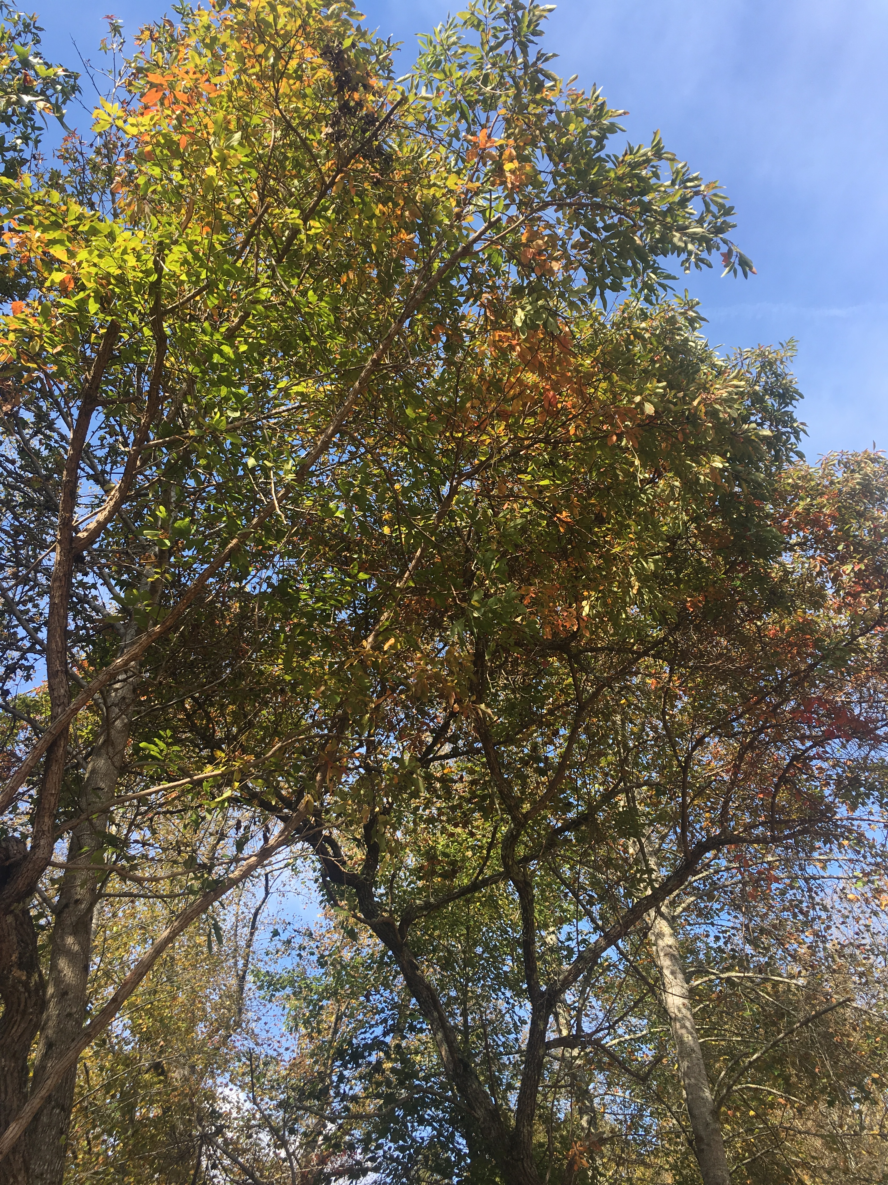 A mature Sassafras tree at the beginning of Fall