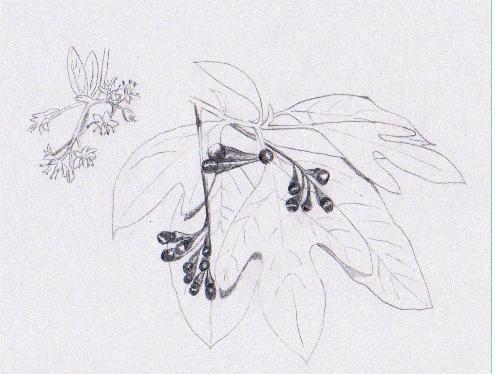An illustration of the Sassafras' leaf forms, flowers, and fruit