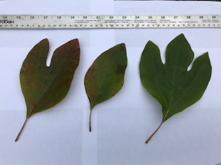 These are the three leaf forms of the Sassafras (from left to right): mitten shaped or two lobed, simple, and three lobed or trident shaped