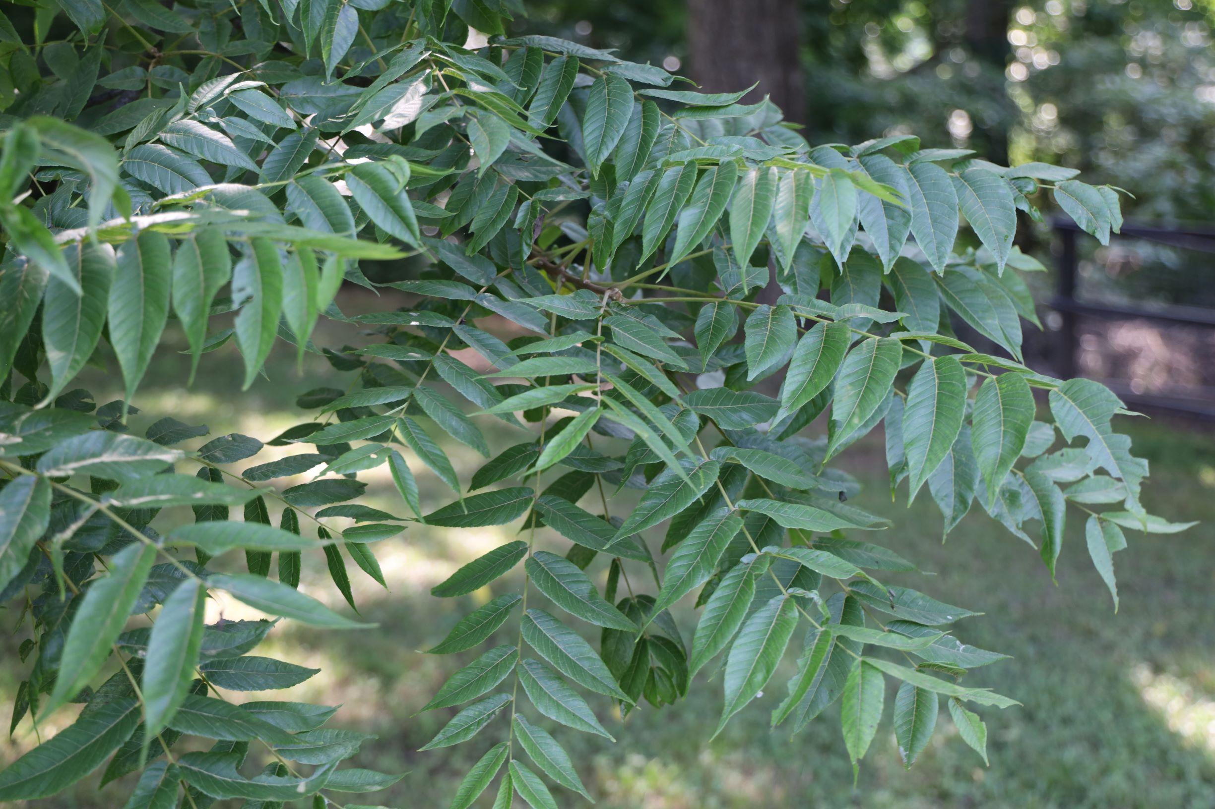 Black Walnut Leaves