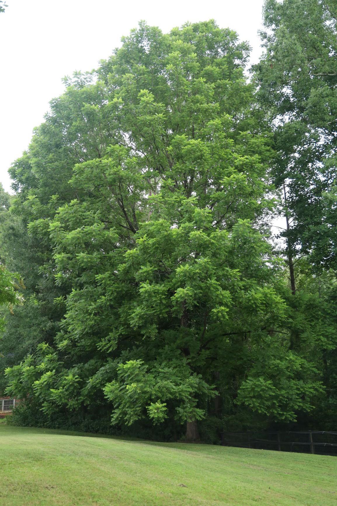 A mature black walnut tree