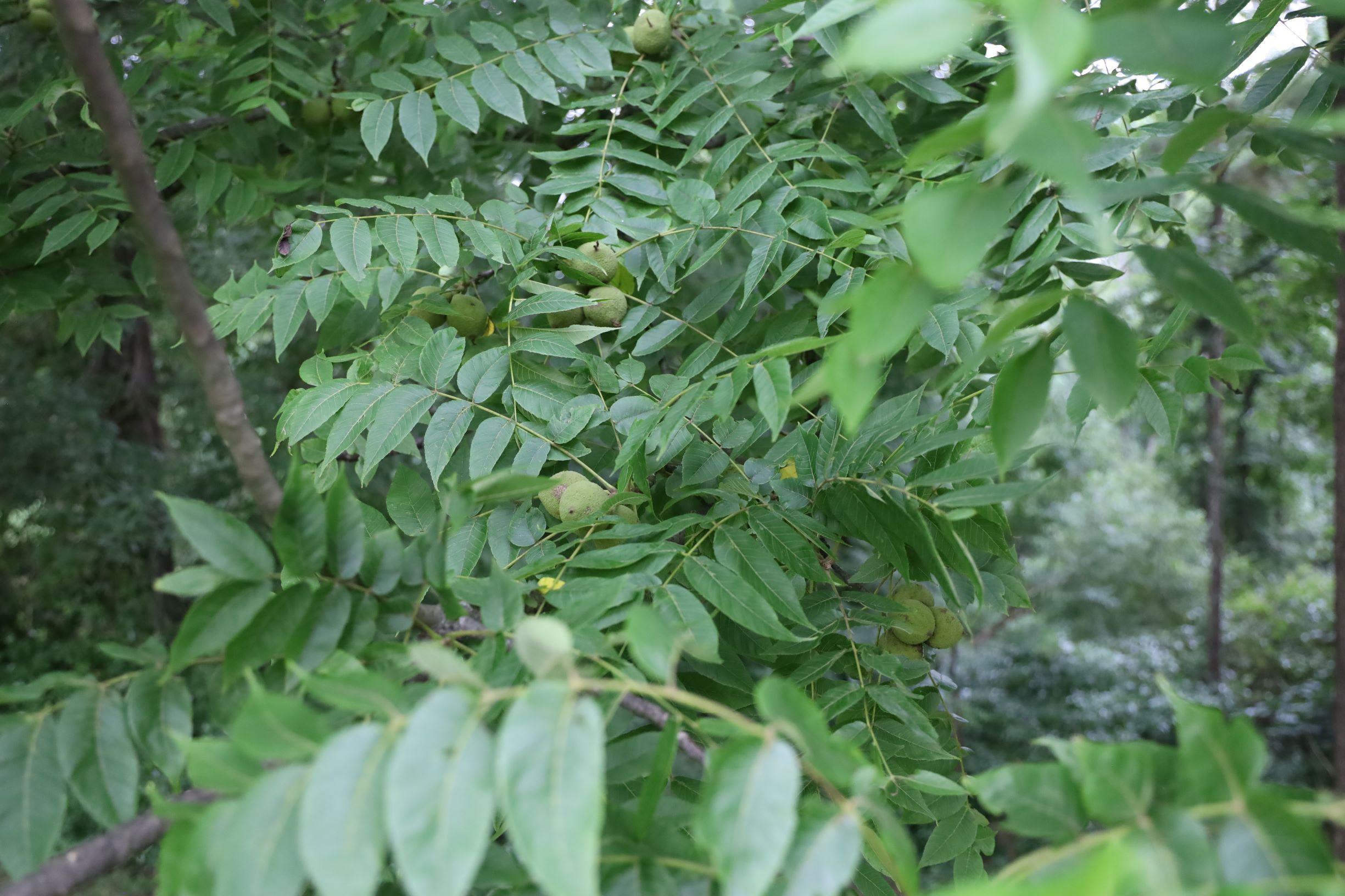 Leaves & Nuts