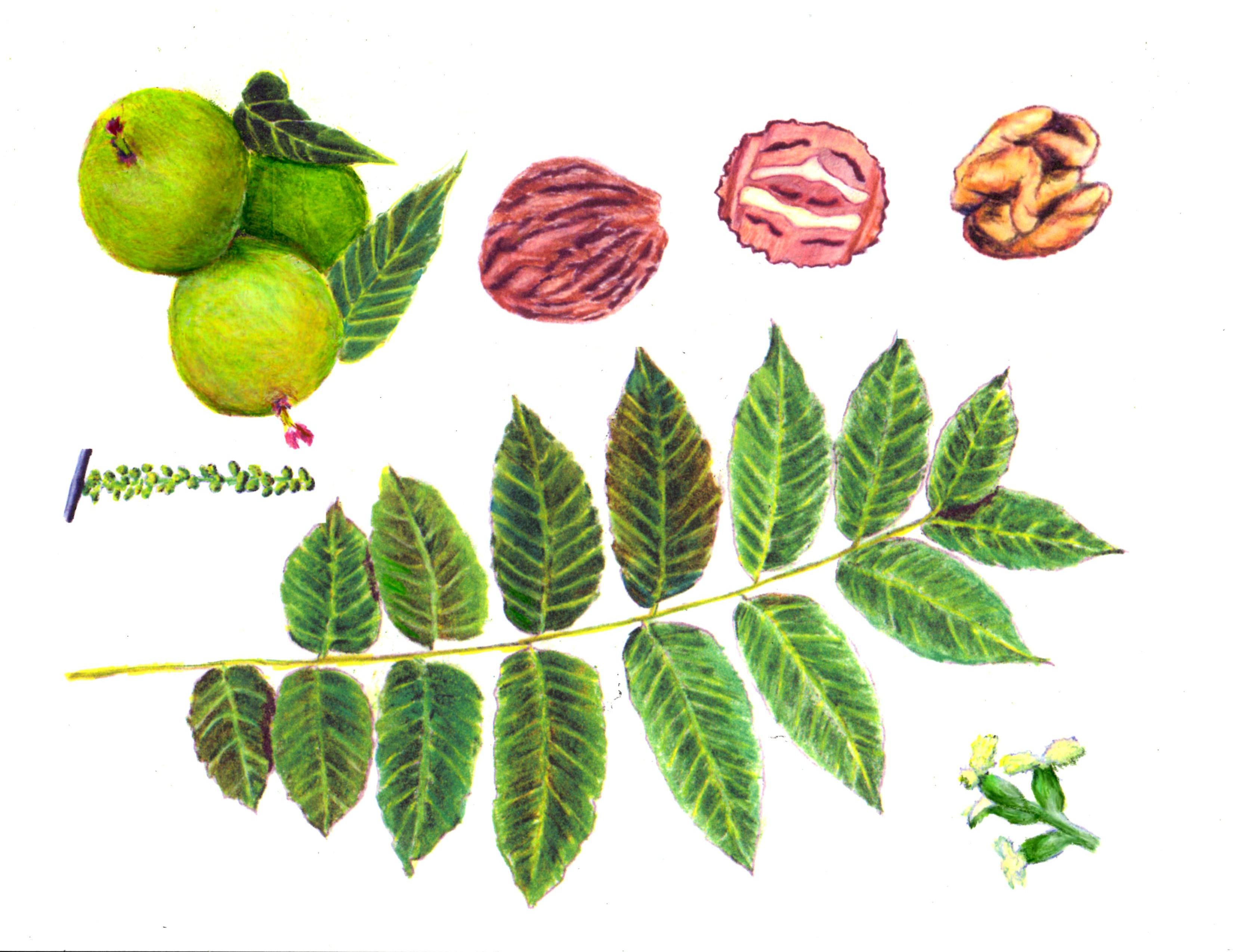 Illustration of the black walnut parts: leaf, male catkin, nuts with husks, nut, kernel, and female flowers. Illustration by Karen M. Johnson