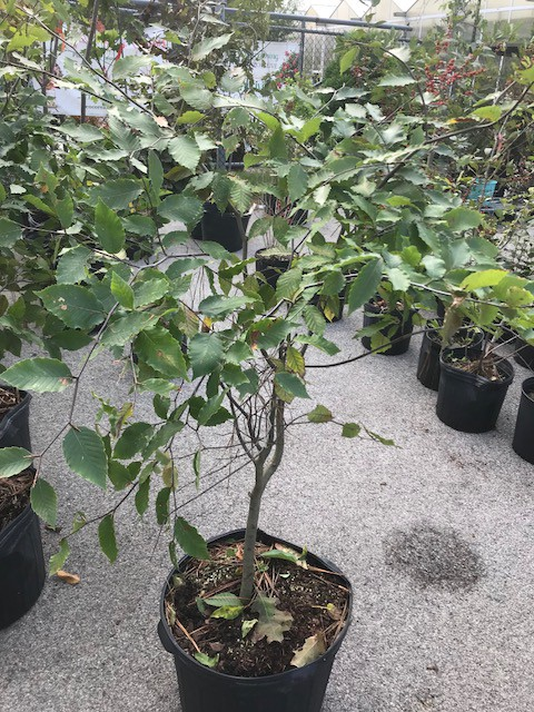 """""""A young 5 gallon beech tree from a commercial nursery"""".  Photo by James Talmadge"""